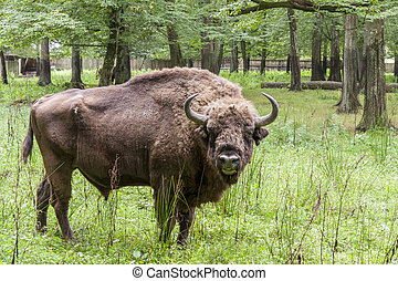 Bialowieski National Park - Poland. Aurochs head. - Aurochs...