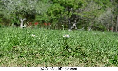 daisy flower cut grass - Closeup of daisy flower grow in...