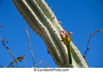 cactus bud drop