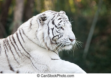 White tiger head - Portrait of white tiger