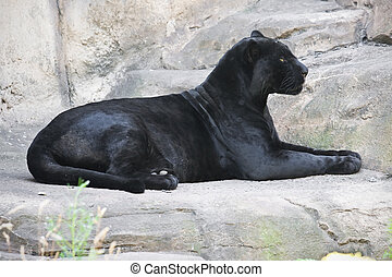 Black panther - Beautiful photo of graceful black leopard -...