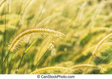 Wild grass with morning sun ray and bokeh background