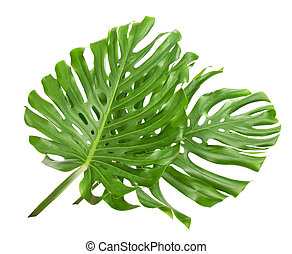 Two tropical leaves - The two tropical leaves isolated on...