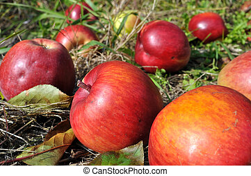 colorful organic apples in the orchard