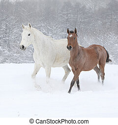 Two moravian warmbloods running in winter - Two moravian...