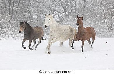 Batch of horses running in winter - Batch of horses running...