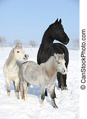 Two ponies and one friesian mare in winter - Two ponies and...