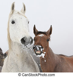 Mare with foal in winter - Mare with foal looking at you in...