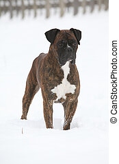 Deutscher Boxer in winter - Nice Deutscher Boxer standing in...