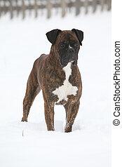 Deutscher Boxer in winter - Nice Deutscher Boxer standing in...