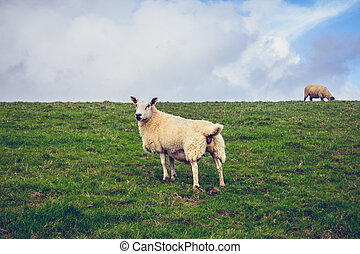 Sheep in the green rural landscape