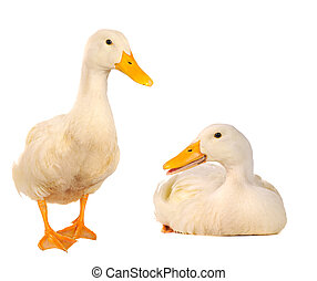 two duck - two duck on a white background...