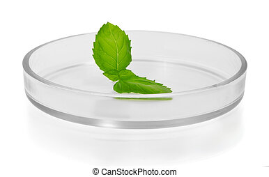 Plant leaf in Petri dish isolated on white