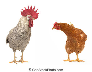 hen and white cock - hen and cock on a white background...