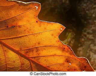 Fall Leaf - Sunlight through Fall Leaf