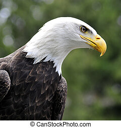 Bald Eagle looking - square image - Majestic Bald eagle...