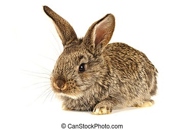 brown  rabbit - brown rabbit ?n a white background