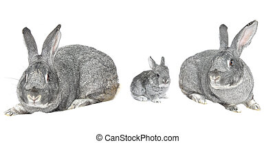 grey big rabbit on a white background