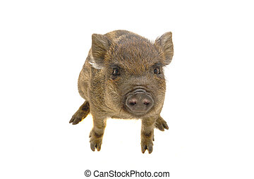 Pig  small  on a white background