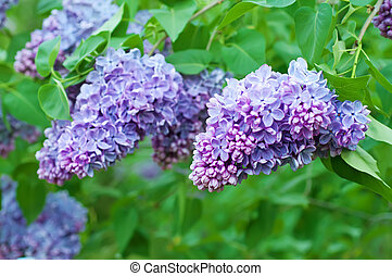 Branch of lilac flowers with the leaves, floral natural...