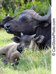 Buffalo Cow and Calf - Buffalo cow protecting its young calf...