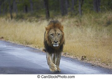 Male Lion Walking Along a Road - Male African Lion (Panthera...