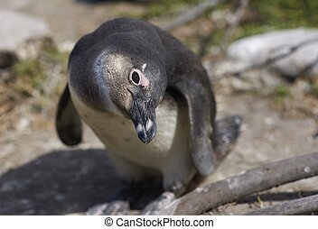 Inquisitive Penguin - Inquisitive young African Penguin...