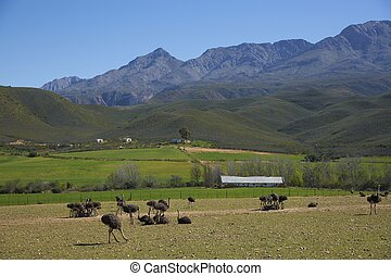 Ostrich Farm - Ostrich farm in the Oudtshoorn region of the...
