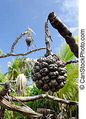 Morinda citrifolia tropical tree - Dry Noni fruit and leaf...