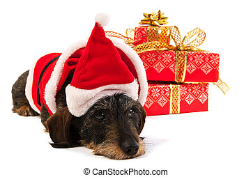 Wire haired dachshund with Christmas hat - Wire haired...