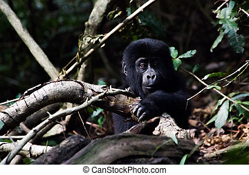 Baby Gorilla - A baby Gorilla clambering with curiosity over...