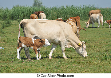 Cow and calf on a summer pasture