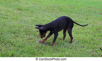 Manchester Terrier Playing Dolly