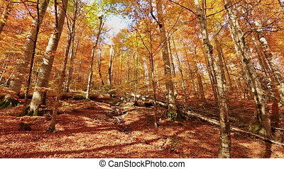 autumn - falling leaves forest in golden autumn season pan...