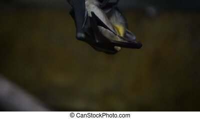 Fruit Bat - Fruit bat also known as frying fox