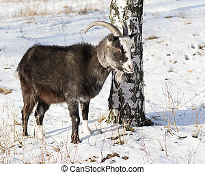 of goat pasture in the winter birch forest