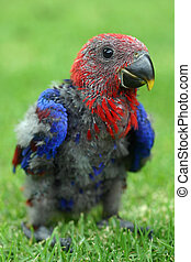 bebê, red-sided, eclectus, Papagaio