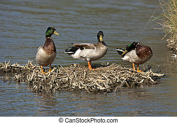 Three Mallards (Anas platyrhynchos), drakes