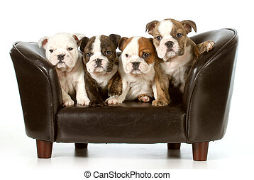 litter of puppies - english bulldog puppies sitting on a...