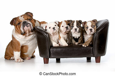 dog family - english bulldog father sitting beside litter of...