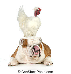cock and bull - english bulldog with a chicken sitting on...