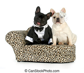 dog couple - french bulldogs dressed up like a man and woman...
