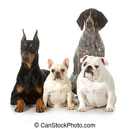four different purebred dogs looking at viewer isolated on...