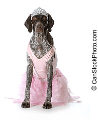 spoiled dog - german shorthaired pointer dressed up like a...