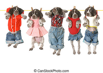 puppies on a clothesline - german shorthaired pointer...