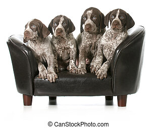 litter of puppies - four german shorthaired pointer puppies...