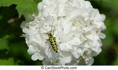 black yellow bug flower - snowball on a white inflorescence...