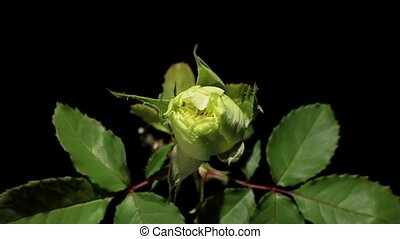 Blooming green roses flower buds on the black background,...