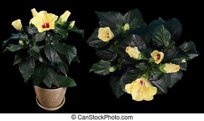 Blooming yellow Hibiscus flower buds ALPHA matte, (Hibiscus...