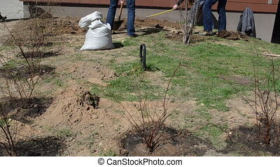 tree seedling - Men dig pits yard with shovels young tree...